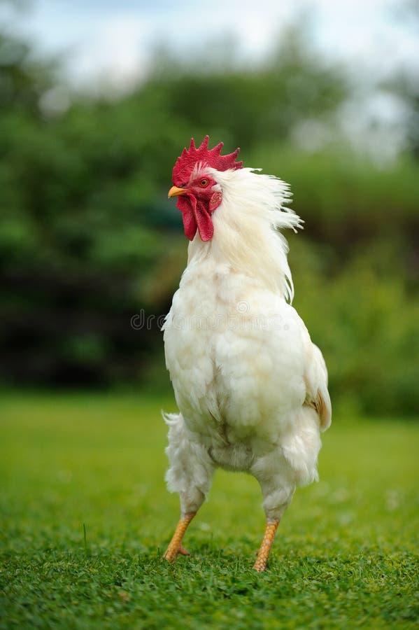 白色被翻动的雄鸡 免版税库存照片