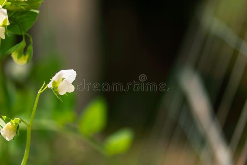 白色豌豆花 库存照片
