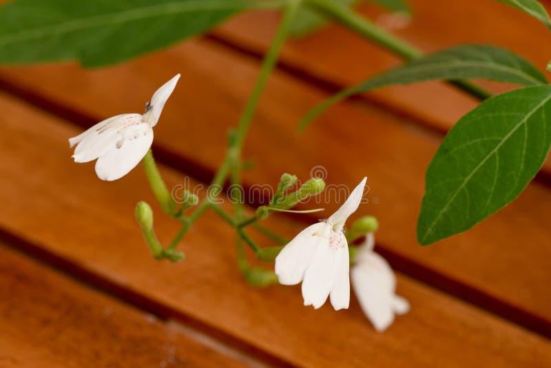 白色起重机花(新鲜和干叶子 ) (Rhinacanthus nasutus (L.) Kurz)混合蜂蜜 ) Kurz) 免版税库存图片