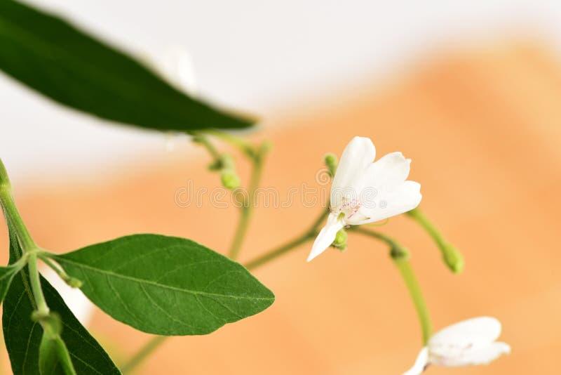 白色起重机花(Rhinacanthus nasutus (L ) Kurz) 图库摄影