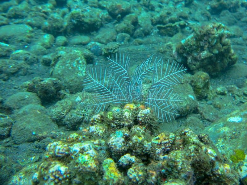 白色软的珊瑚水中有珊瑚背景 在五颜六色的礁石的佩戴水肺的潜水 生动的珊瑚的水下的摄影 库存图片