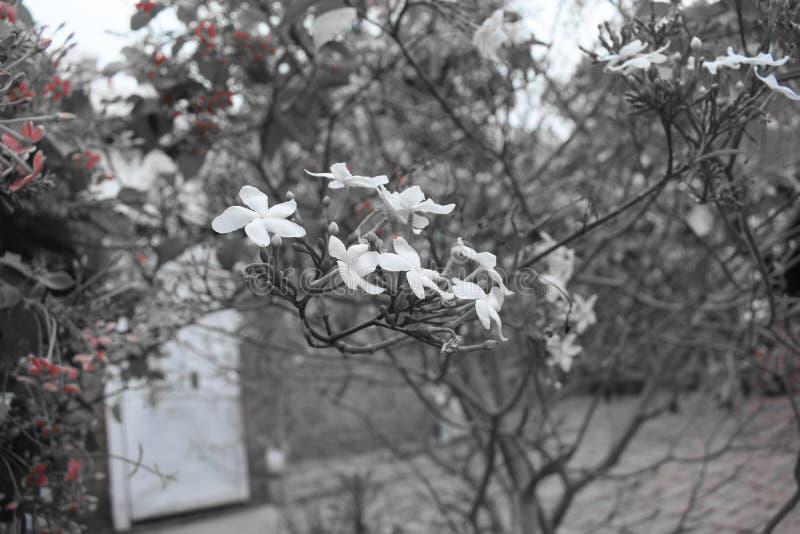 白色迷人的花 库存图片