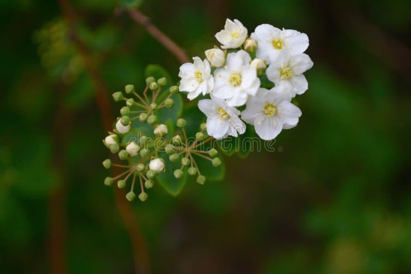 白色逗人喜爱的灌木开花2018年 库存照片