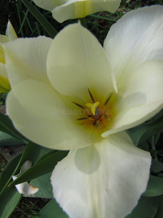 白色郁金香宏观概要 库存照片