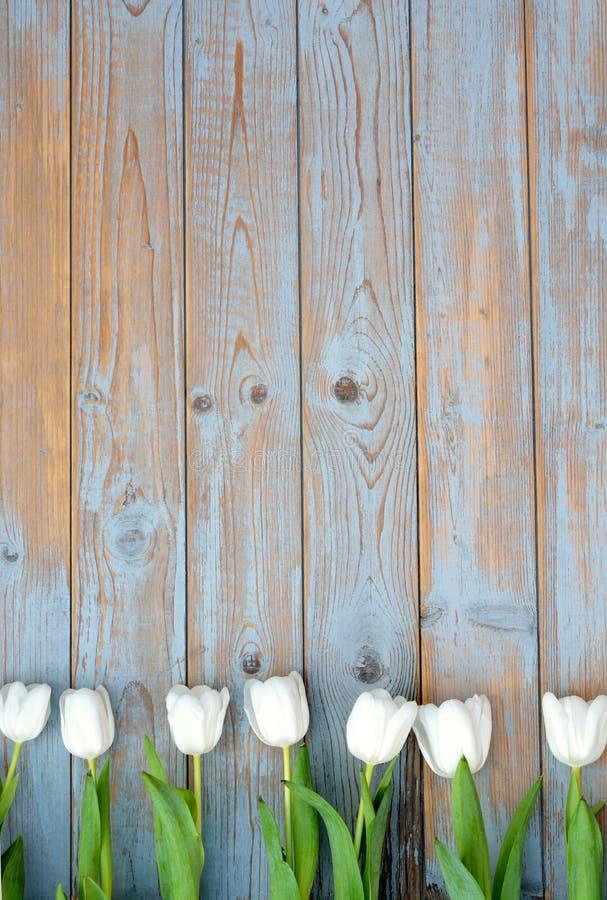 白色郁金香行在蓝灰色的打结了与空的空间布局的老木背景 图库摄影