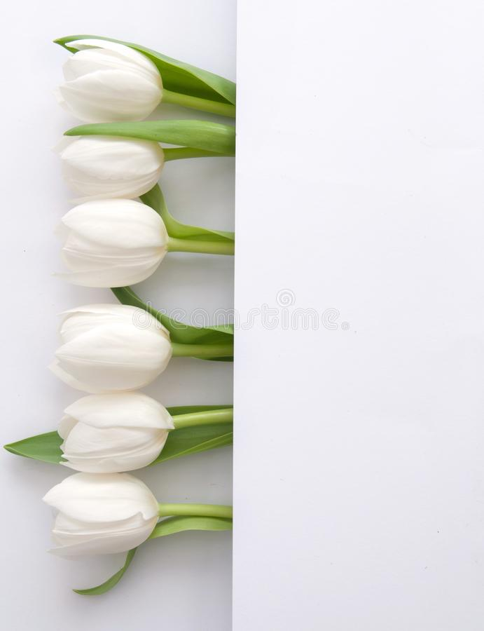 白色郁金香边界 库存例证