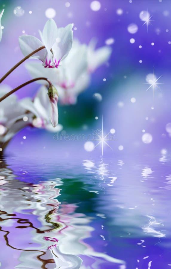 白色野生仙客来或高山紫罗兰 免版税库存照片