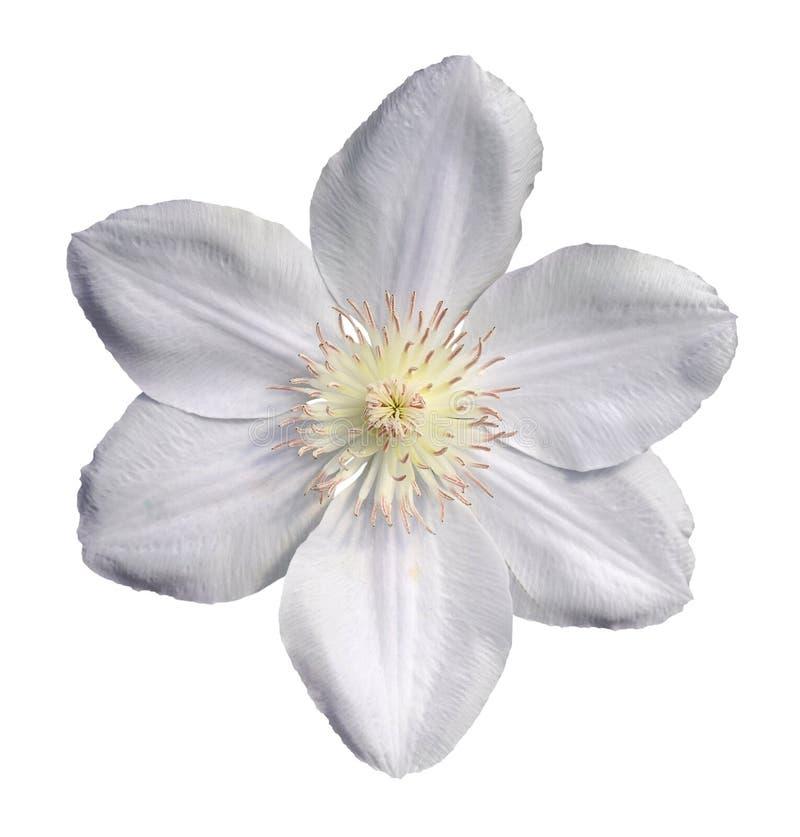 白色铁线莲属 库存照片