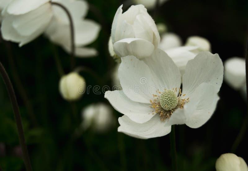 白色银莲花属在庭院里 免版税库存照片