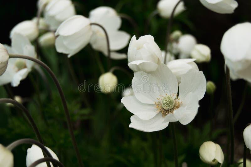 白色银莲花属在庭院里 库存图片