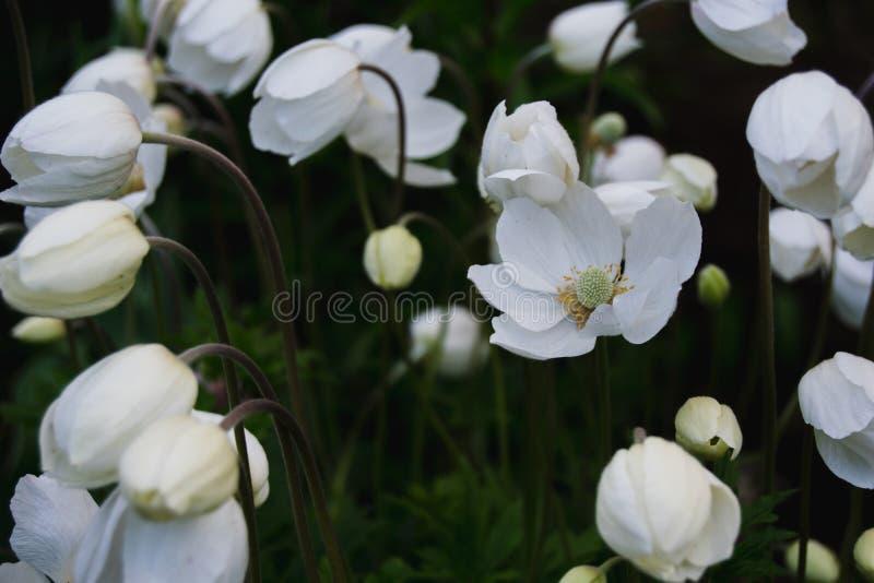 白色银莲花属在庭院里 免版税库存图片