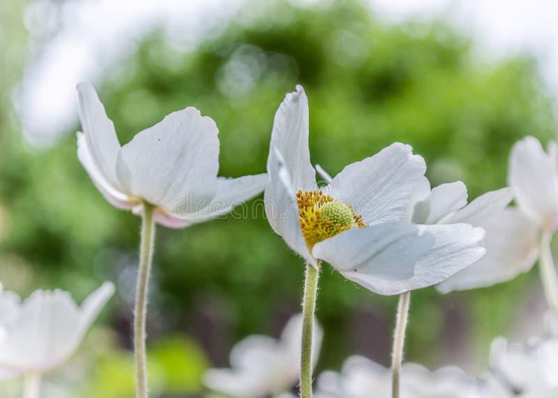 白色银莲花属在有绿色叶子的庭院里 免版税库存照片