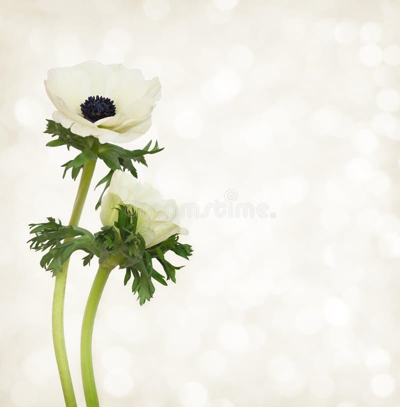 白色银莲花属花 库存照片