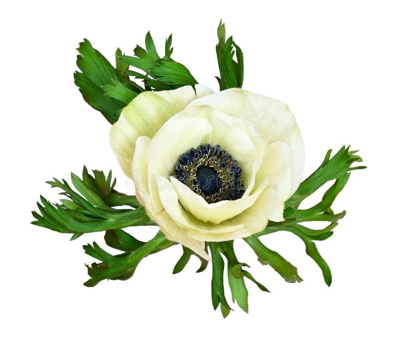 白色银莲花属花 免版税库存图片