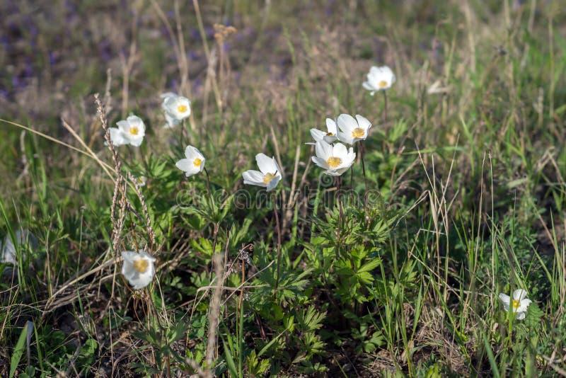 白色银莲花属银莲花属nemorosa花在春天草甸增长 图库摄影