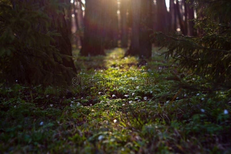 白色银莲花属nemorosa花在太阳光芒的春天森林里  库存图片