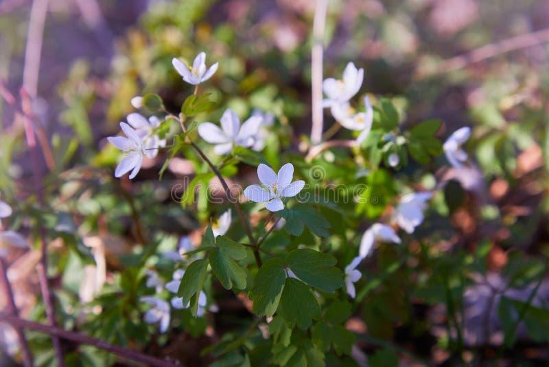 白色银莲花属nemorosa花在森林里 库存照片