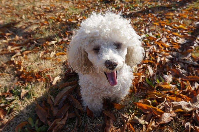 白色长卷毛狗坐的打呵欠在秋天 免版税库存照片