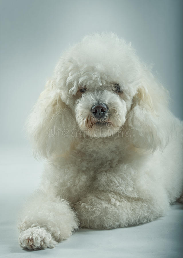白色长卷毛狗摆在 库存图片