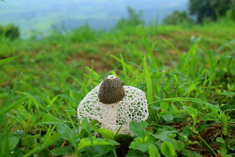 白色长的净Stinkhorn蘑菇或竹子真菌在绿草中与早晨露水 库存图片