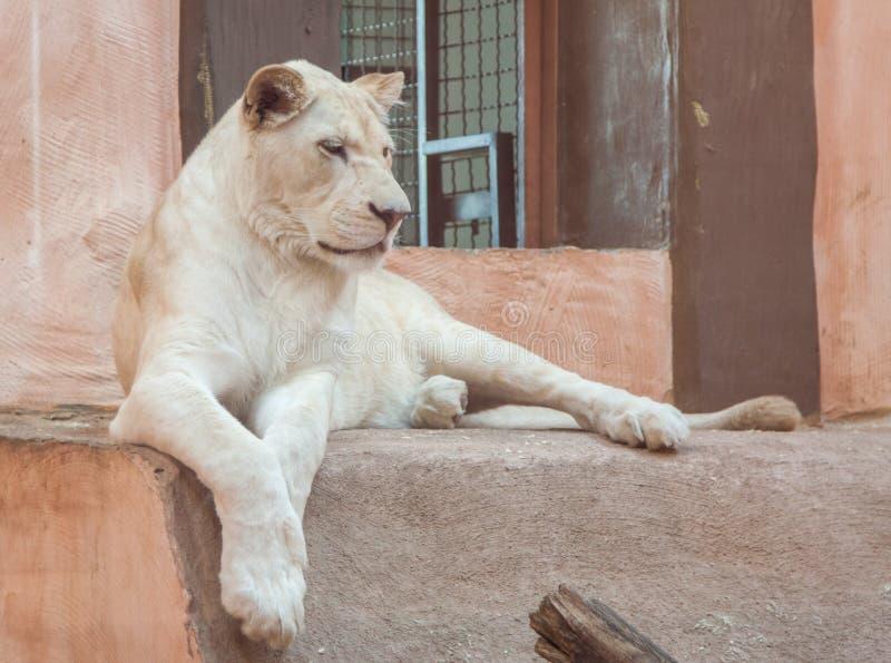 白色雌狮 免版税图库摄影