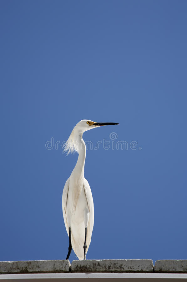 白色雪白鹭的垂直的颜色图象坐在背景蓝天的屋顶 免版税图库摄影