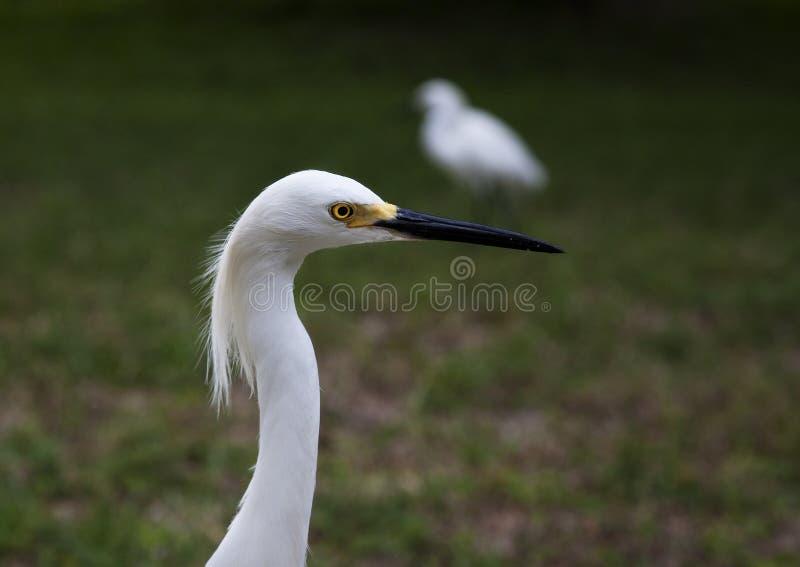 白色雪白鹭的接近的画象 库存图片