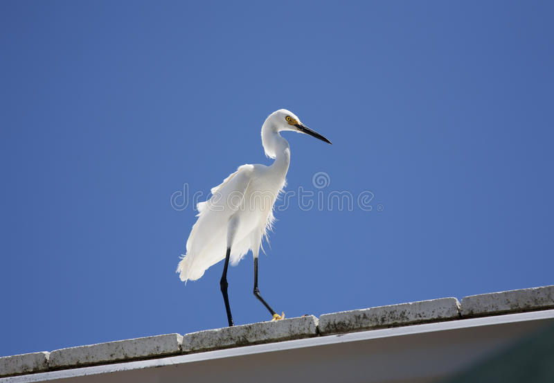 白色雪白鹭的水平的颜色图象坐在背景蓝天的屋顶 库存照片