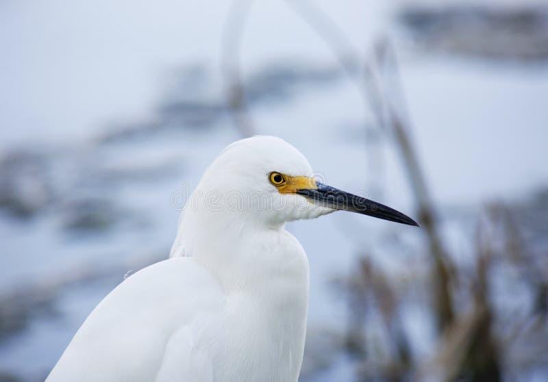白色雪白鹭画象在自然背景的 免版税库存图片