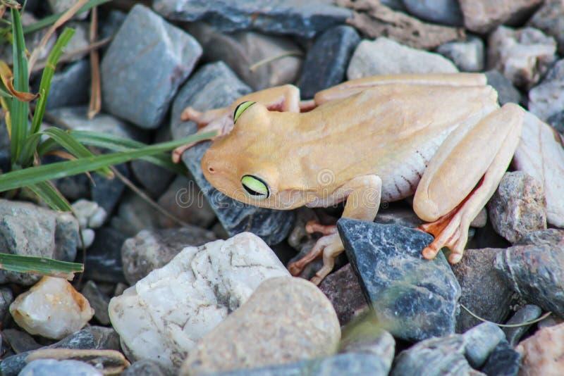 白色青蛙和绿眼,与充满活力的眼睛的一个动物 库存图片