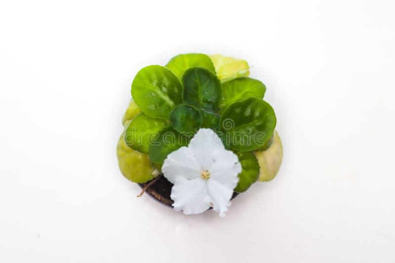 白色非洲紫罗兰非洲堇花盆特写镜头 图库摄影