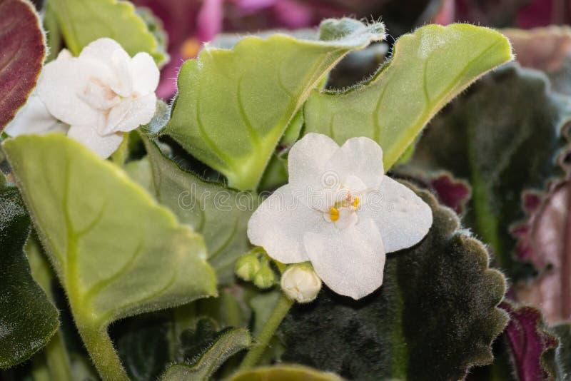 白色非洲紫罗兰花和叶子 免版税库存照片