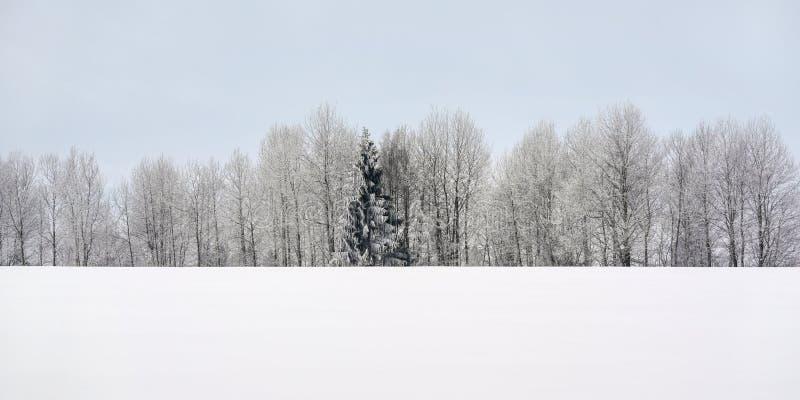 白色领域,与在距离和清楚的天空的积雪的树,最小的冬天风景-与空间的宽横幅文本的 免版税库存图片