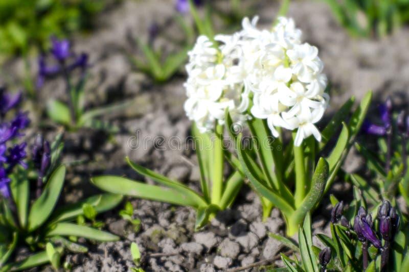 白色风信花在一栋乡间别墅的花床上在春天 背景 免版税库存照片