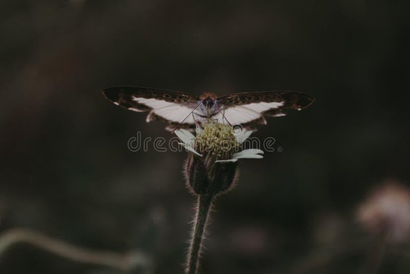 白色飞蛾 库存图片