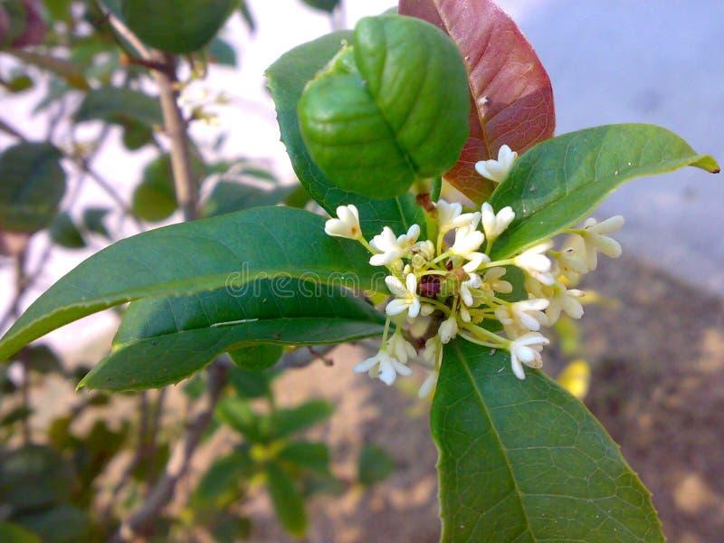 白色香郁木犀属植物 库存图片