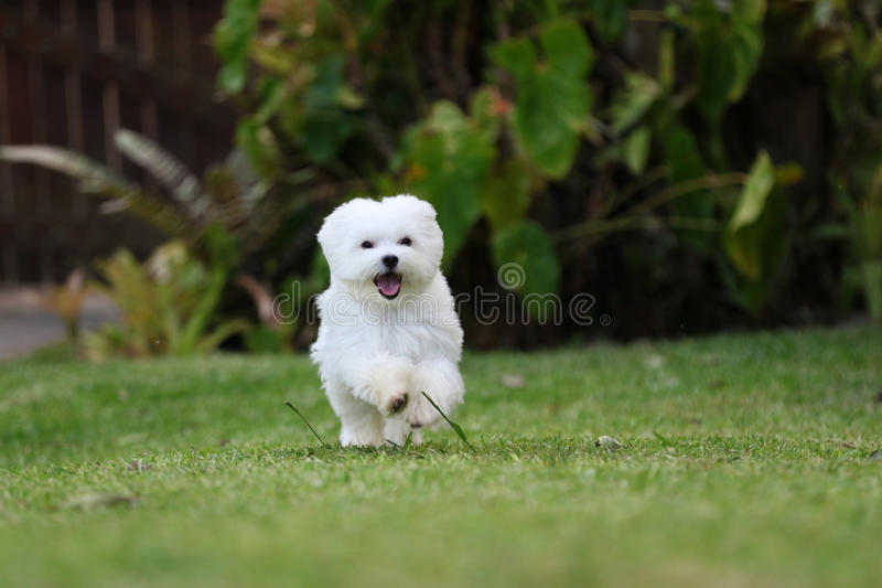 白色马耳他狗赛跑 库存图片
