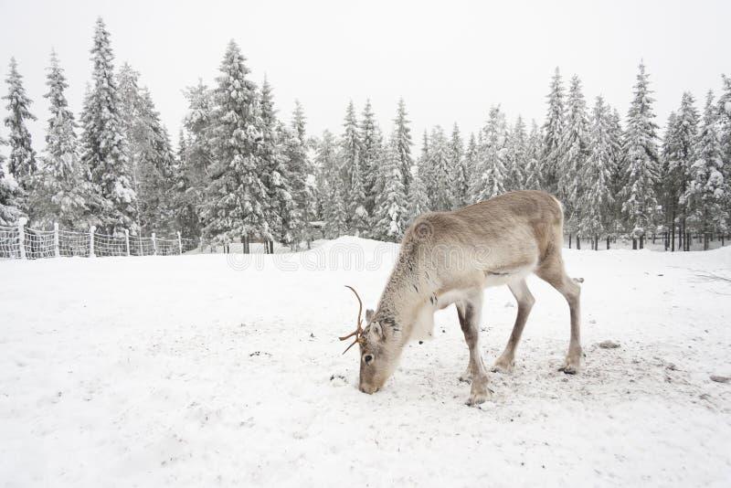 白色驯鹿在多雪的领域吃 图库摄影