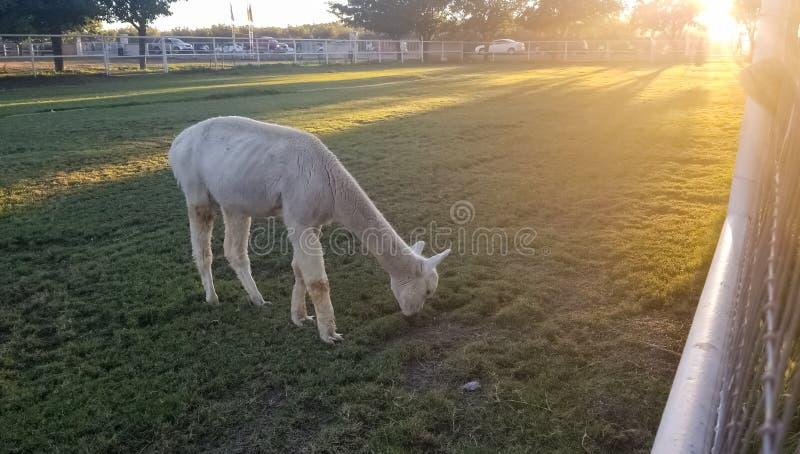白色骆马在有美好的日落的一个小牧场 免版税图库摄影