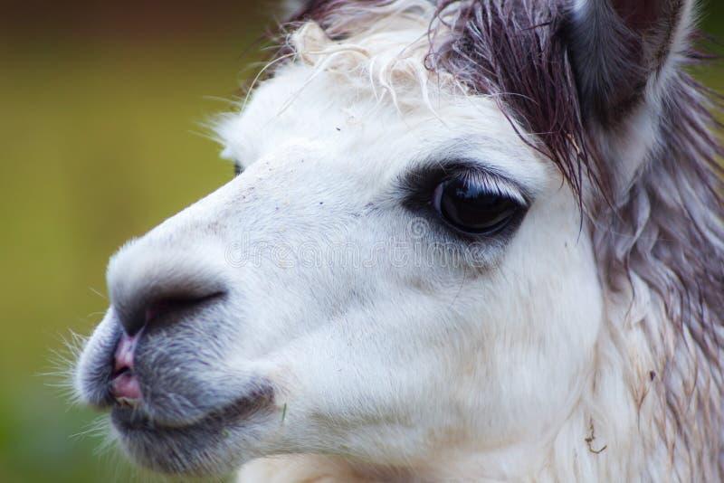 白色骆马 免版税库存图片