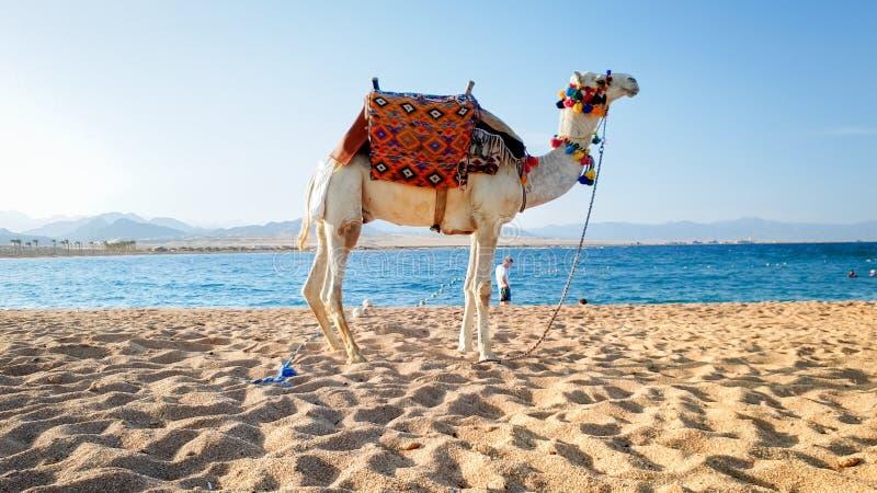 白色骆驼的美好的图象与装饰的马鞍身分的在海海滩的沙子 骆驼为游人使用 库存图片