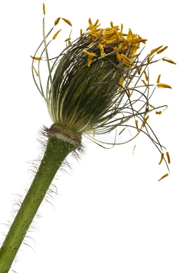 白色高山鸦片,罂粟属alpinum特写镜头,在白色前面 库存照片