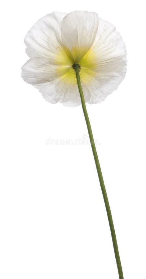 白色高山鸦片,罂粟属alpinum,在白色前面 免版税库存照片