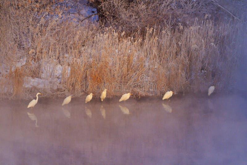 白色鸟在冻河中站立在一个冷淡的有薄雾的早晨 库存照片