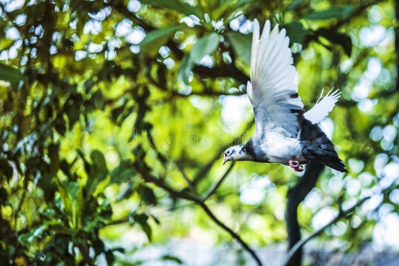 白色鸠和鸽子飞行-自由 库存照片