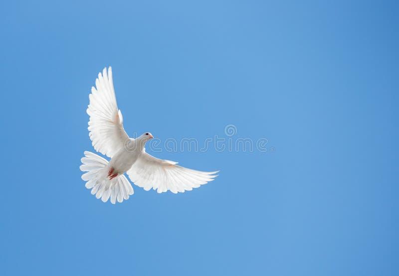 白色鸠飞行 库存图片