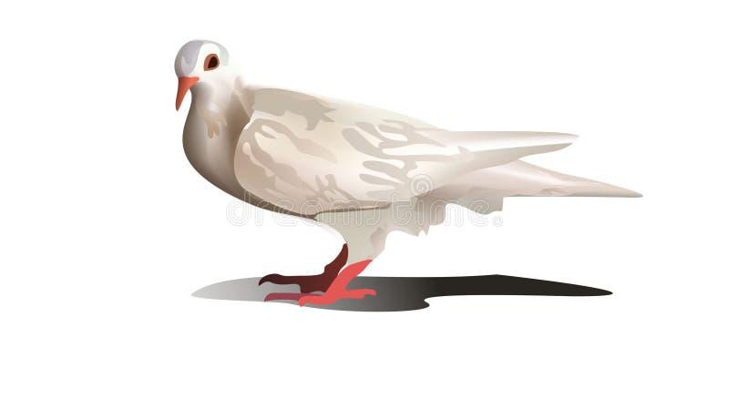 白色鸠,白色鸽子 向量例证