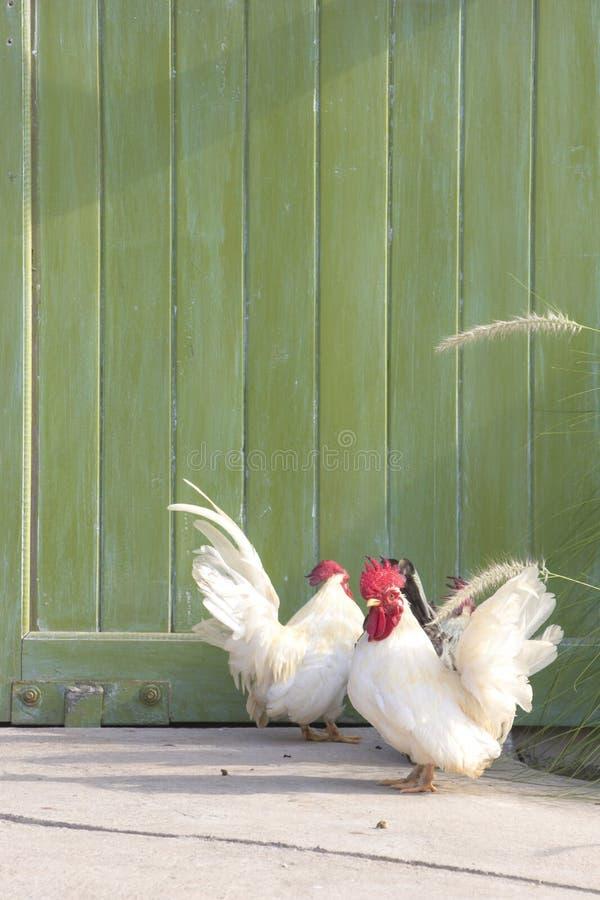 白色鸡和绿色门 免版税库存图片