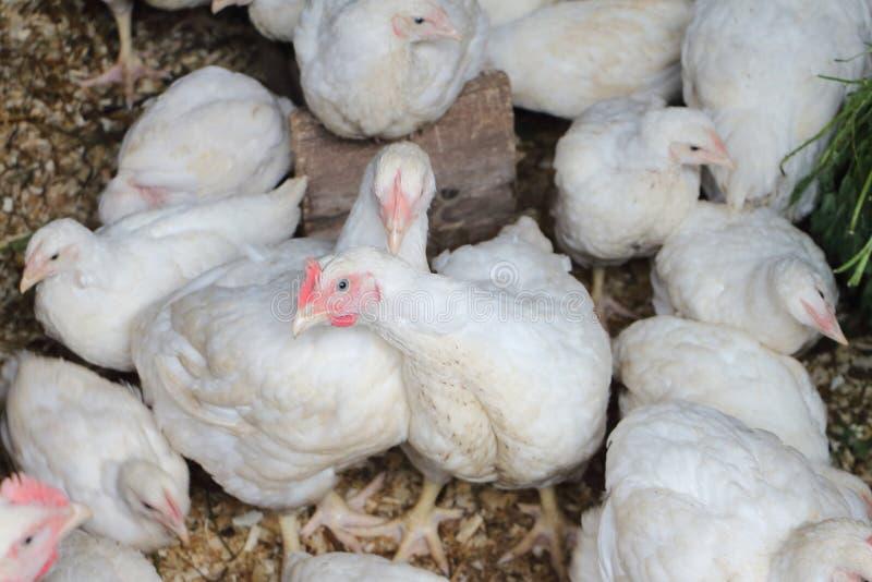 白色鸡在鸡舍里 免版税库存图片