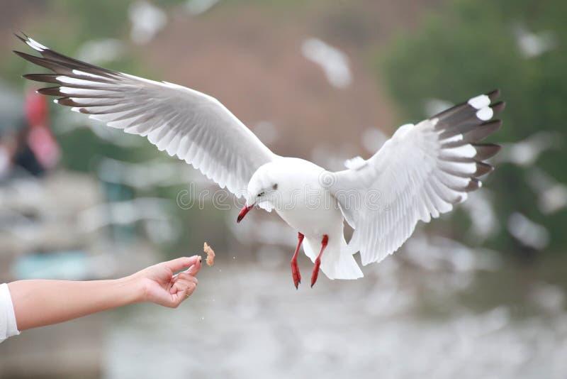 白色鸥盘旋 由于游人Bangpu Th的作用 免版税库存图片